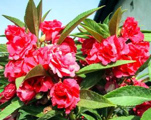 Бальзамин комнатный в цветочном горшке
