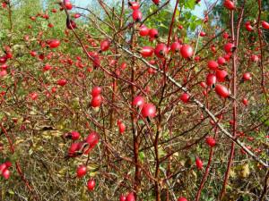 Шиповник осенью, с плодами