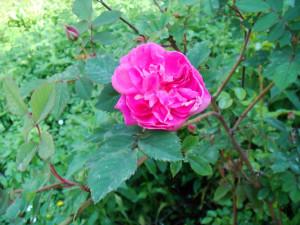 Шиповник розовый цветущий