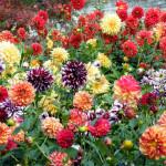 Георгины садовые