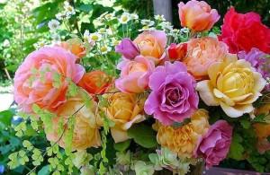 чайные-розы