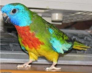 Глянцевый попугай (самец)