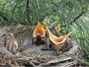Гнездо певчего дрозда. Фото Т.Г. Джусупова