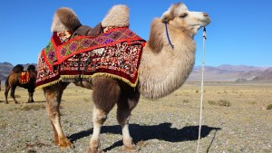 mongolia-camel.ngsversion.1396531705821.adapt.1900.1